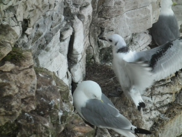 A young Kittiwake tries out its new wings at Bempton Cliffs
